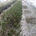 Maiori Pulizia viali, svuotamento bidoni e pulizia dei rami secchi di un primo tratto di siepe al cimitero comunale