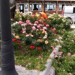 Pulizia e cura delle rose in zona Costa d'angolo