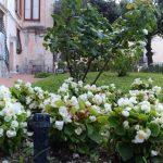 Maiori taglio e sfoltitura rose in villa comunale