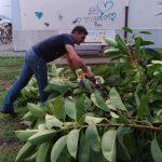 Maiori rimozione pianta di ficus nelle palazzine in via G. Capone